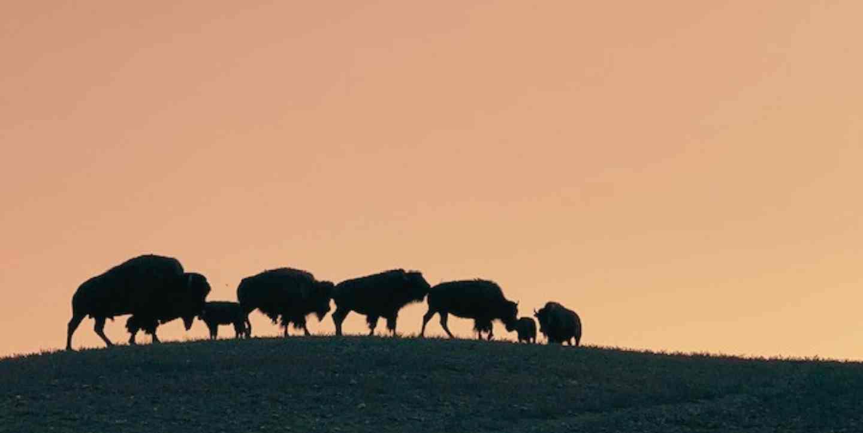 Buffalo-herd-webslider